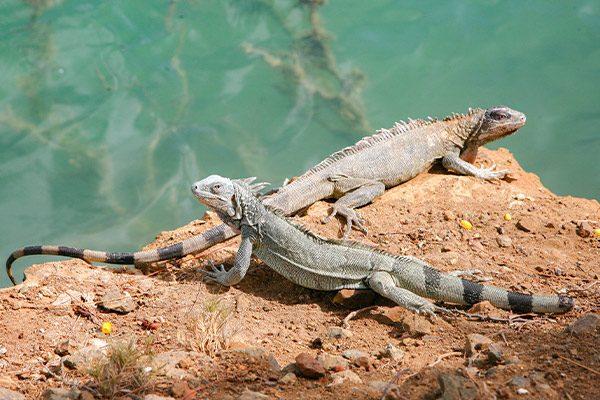 bonaire-nature-stuki-iguana-1